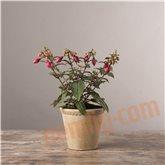 Fuchsia lilla