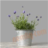 Lavendel (Hidcote)