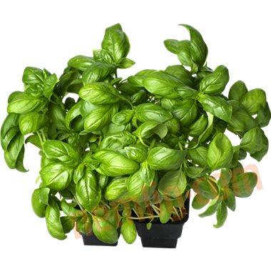 Basilikum - Krydderurter