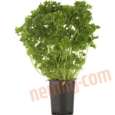 Persille krus - Krydderurter
