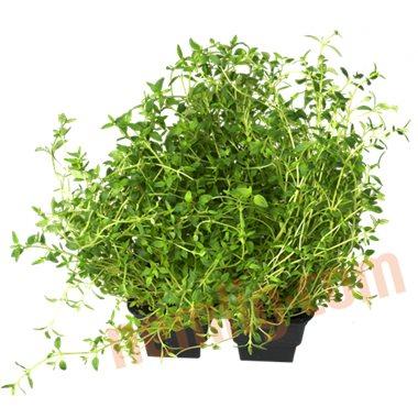 Timian - Krydderurter
